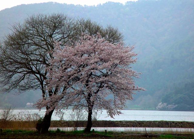 余呉湖に咲く