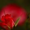 薔薇の回廊 14