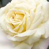 薔薇の回廊 3