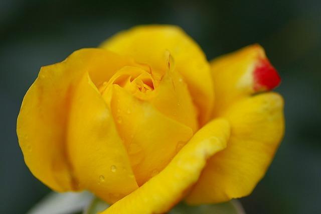 薔薇の回廊 6