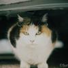 江ノ島の猫#12