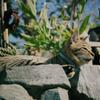 江ノ島の猫#10