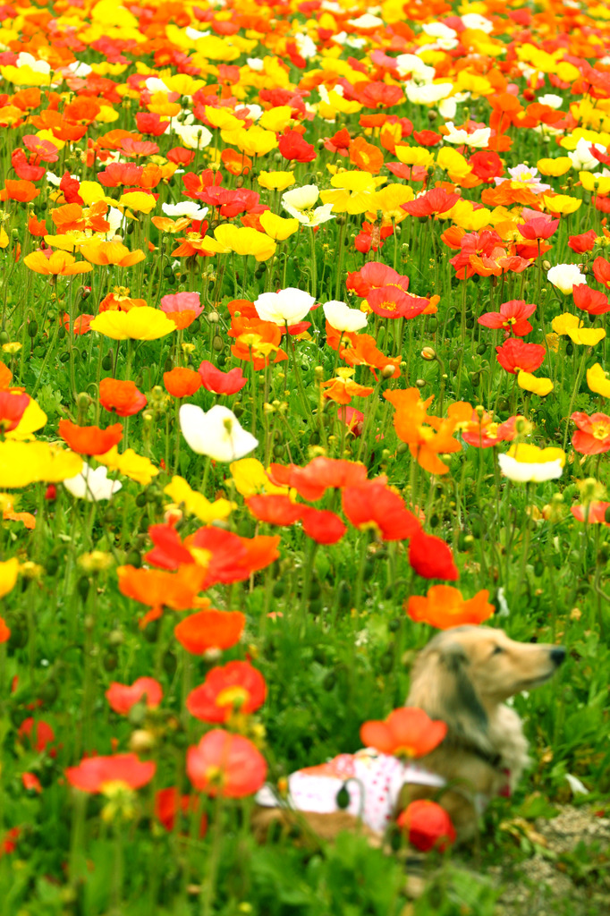 Field poppy and dog2