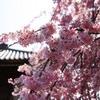 しだれ桜、晴れときどき曇り