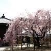 しだれ桜の天寧寺