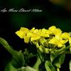 菜の花のマクロ撮影