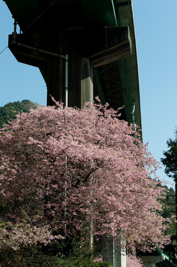 高架下の河津桜