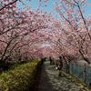 河津桜 花のトンネル