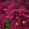 紫紅の寒咲
