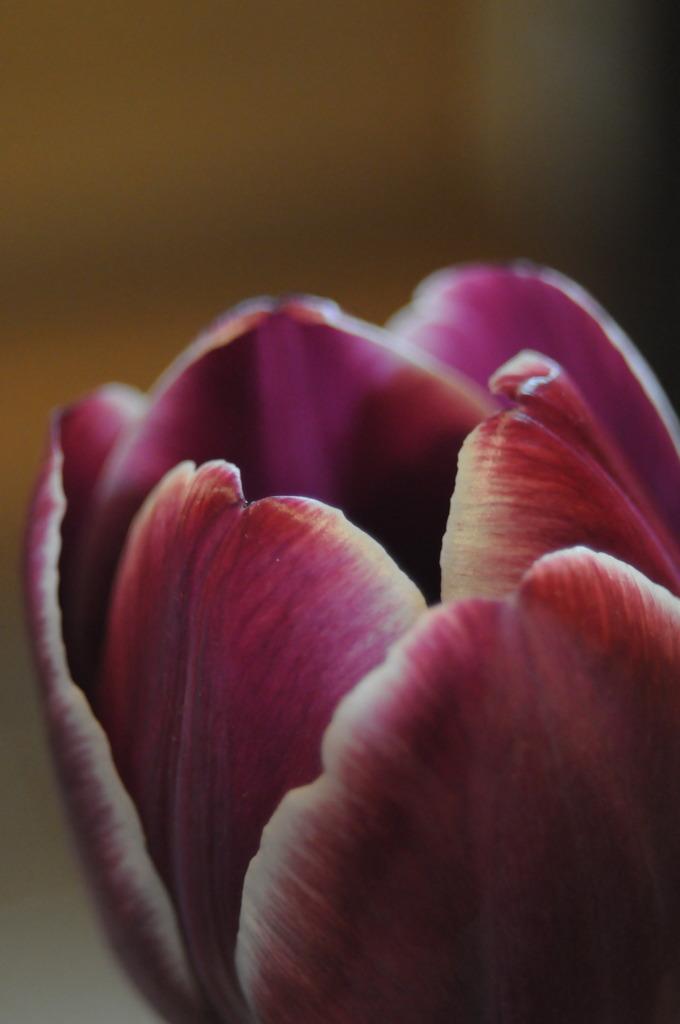 tulipといえば…