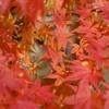 紅葉の中の紅葉