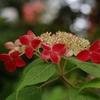 紫陽花「紅」