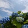 青空と青い紫陽花