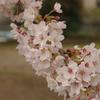 桜H22・4