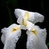 Rainy Iris