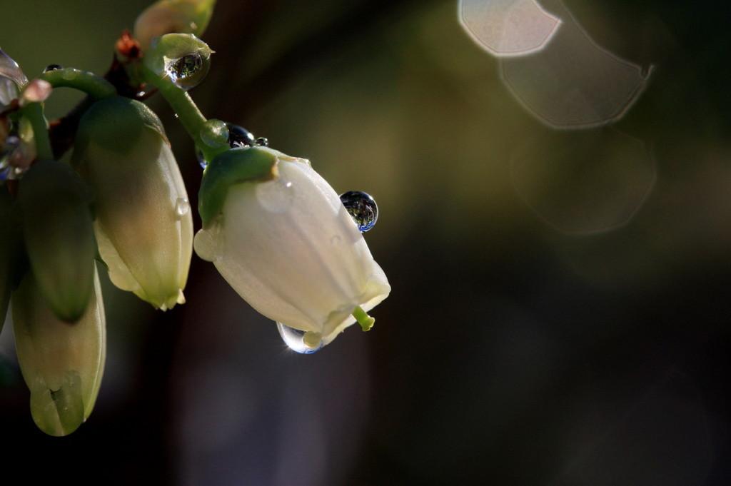 ブルーベリーの花に宿る