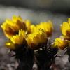 春待ちの花