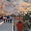 本妙寺 桜灯籠