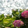 紫陽花の光