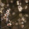 三渓園の梅(1)