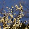 三渓園の梅(2)