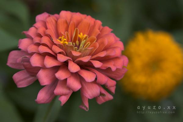 くす玉のようなお花。