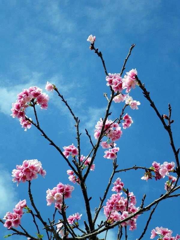 宮古島の桜。