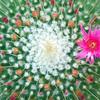 サボテンの花 1