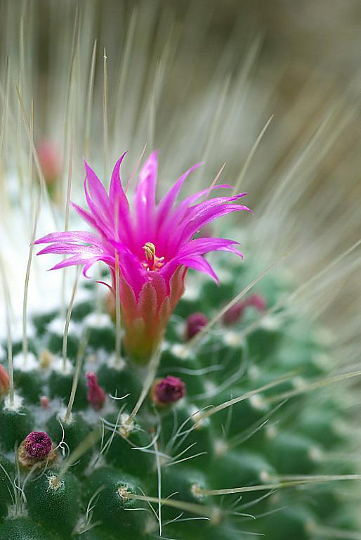 サボテンの花 2