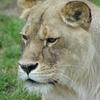 50歳のライオン