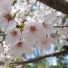 堀之内公園の桜