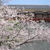 二之丸庭園と桜