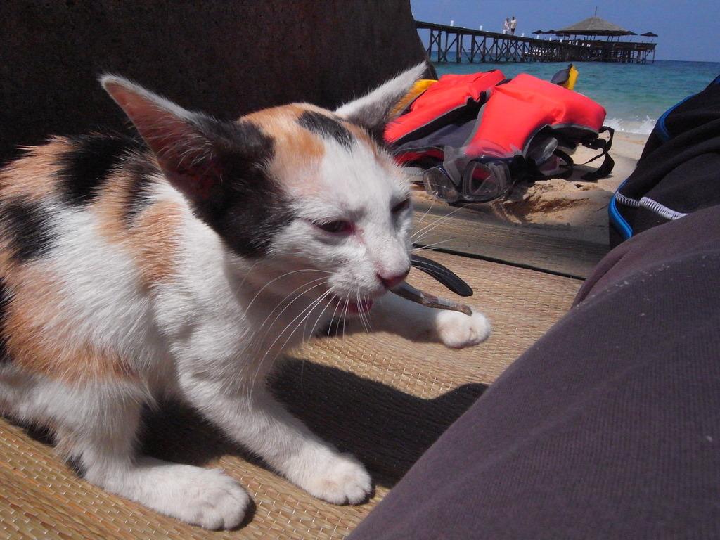 ビーチで遊ぶネコ
