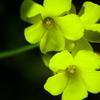 黄色く光る花