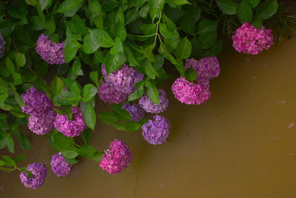 水上の紫陽花