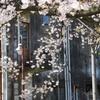 旧日立航空機立川工場変電所の桜