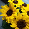 sun flower_1