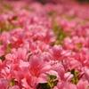 初夏のピンク