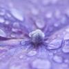 雨の後は紫