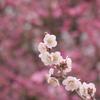 梅園スケッチⅣ 2月の艶姿