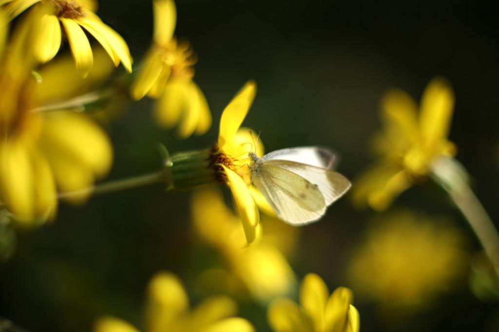 黄色と白と秋