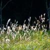 秋の光と風と沼のススキ