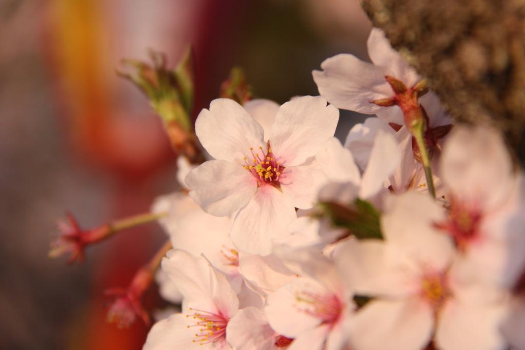 もうすぐ葉桜