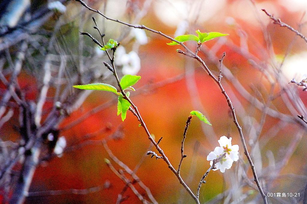 紅葉の中の桜
