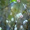 秋に咲く十月桜