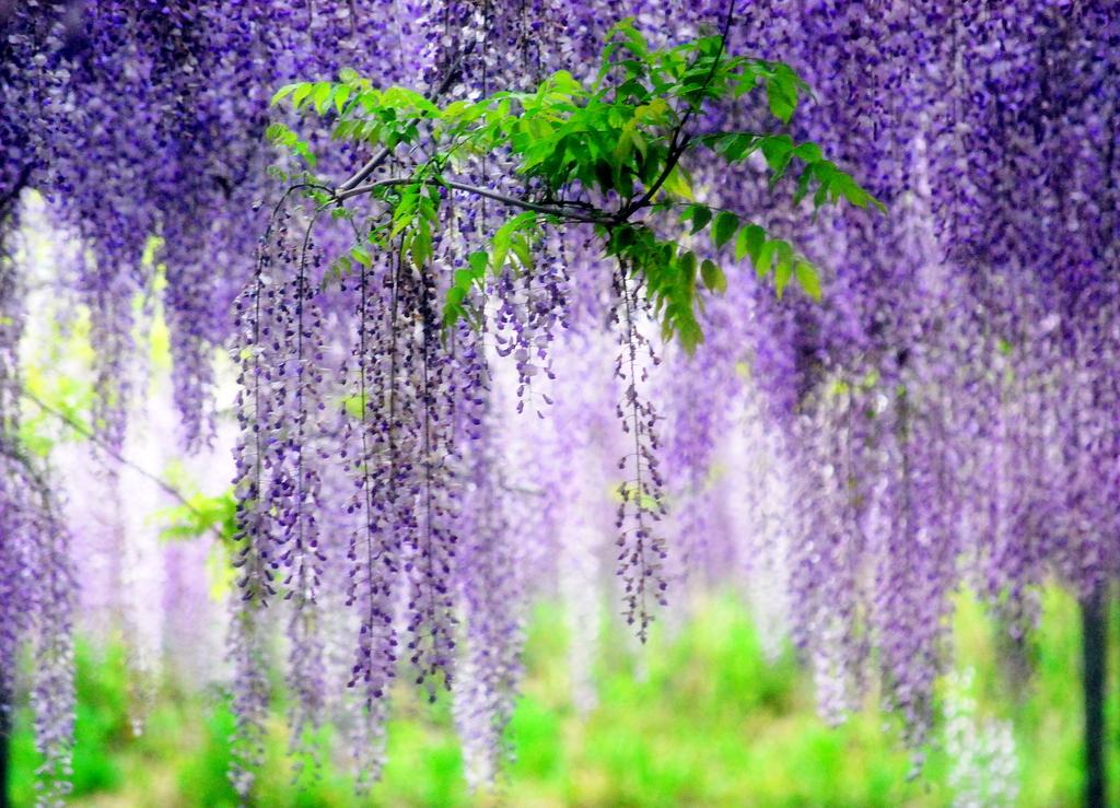 パープルシャワー (藤の花)