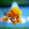 ブーゲンビリア・黄色