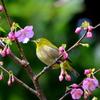 桜とメジロ2011