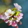 2011早咲きの桜