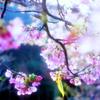 桜咲く2009